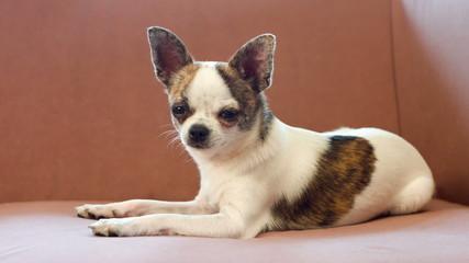 small dog chihuahua