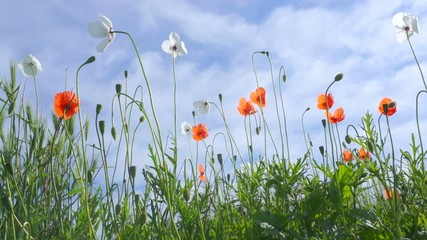 Red and white poppies swaying in the wind on a clear summer day