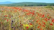 Meadow of wild flowers swaying in the wind on a clear summer day