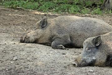 Ruhende Wildschweine