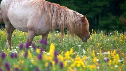 Wild horse peacefully grazing the herbs and flowers of a meadow
