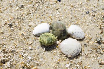shells and sea urchin