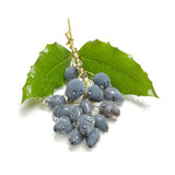 Venomous blue berries isolated on the white poster
