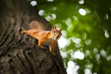Squirrel in summer park