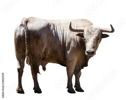 Fotobehang Koe Big gray bull, isolated over white