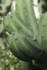 Mirtilocactus Geometrizans
