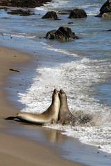 Sea lions at the Pacific Coast, California, USA..