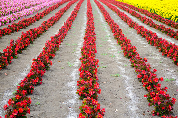 The rows of red begonia Flower garden between with Ameria and ma