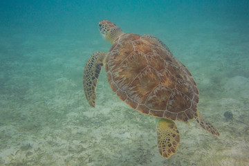 Green Sea Turtle Coming Up for Air