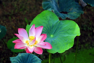 Blooming pink lotus
