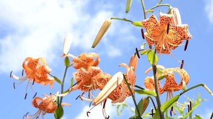 青空をバックにオニユリの花花