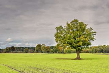 Lonely tree in autumnal field