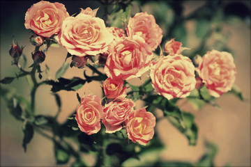 bunch of pink roses, vintage toning