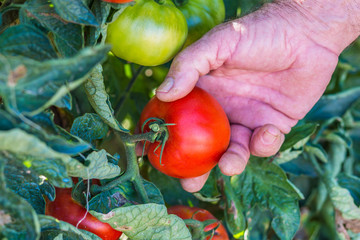 Tomato and leaf