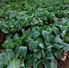 Cabbage vegetable field