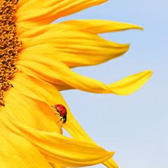 Marienkäfer krabbelt auf einer Sonnenblume