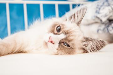 Gatto siberiano - Neva Masquerade Color Point