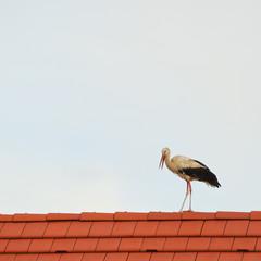 Storch spaziert auf dem Dach
