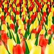 поле ярких тюльпанов