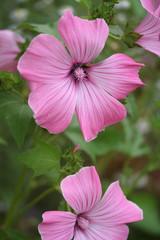 malvarosa rosa_ giardino
