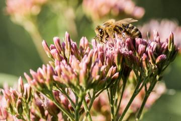 Honigbiene beim Bestäuben einer Blüte