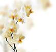 Obrazy na płótnie, fototapety, zdjęcia, fotoobrazy drukowane : Beautiful white orchid