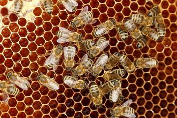 Arbeitsbienen auf der Wabe