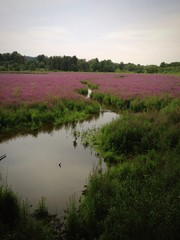 Purple Loosestrife In Full Bloom
