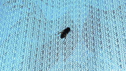 Wasp crawling up the curtain