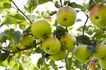 green apples hanging on tree branch
