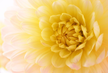 Pale yellow dahlia