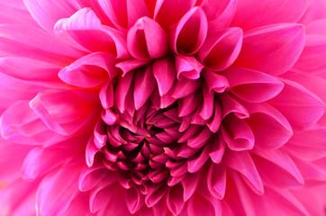 Magenta pink dahlia