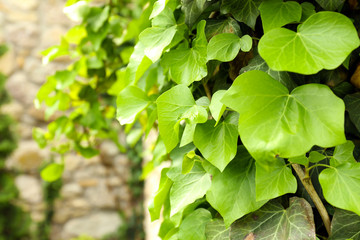 Green ivy, close up