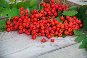 Red rowanberry