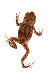 Tiny toad isolated on white background. VERY small and lively.