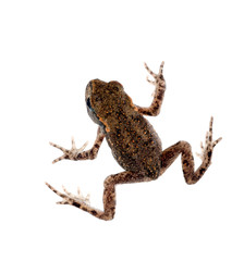 Baby toad, bufo bufo, isolated on white background