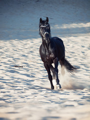 Running  beautiful black horse in the desert