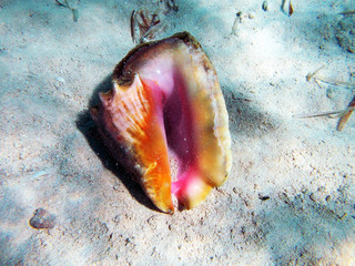 Conch Shell Under The Sea