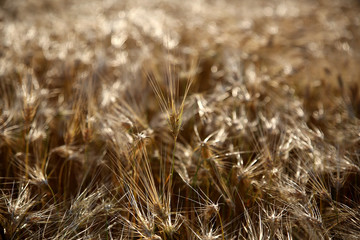 close up of a barley ear in the field