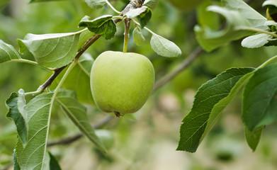 Manzana verde en la rama de un manzano