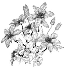 Vector sketch of clematis flowers