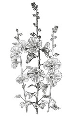 Sketch of bindweed flowers