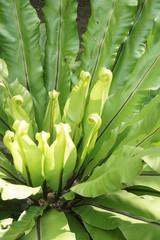 Bird's nest fern leave