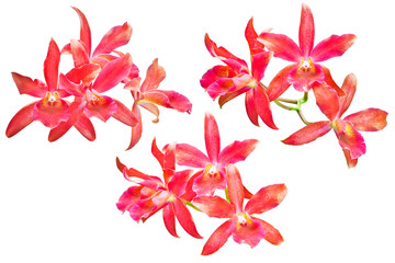 Red cattleya orchid isolated on white