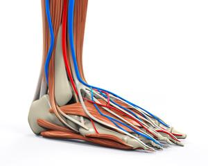 Human Foot Muscles Anatomy