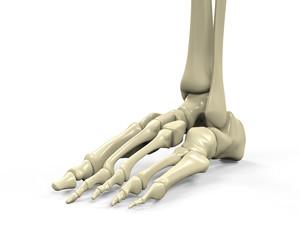 Foot Skeleton Anatomy