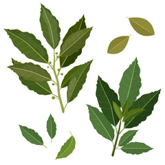 twig fresh bay leaf herb isolated set