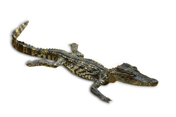 Isolated of saltwater crocodiles in Thailand, clipping path