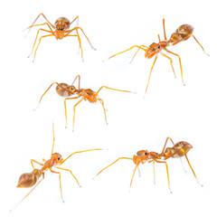 Isolated Female Myrmarachne plataleoides jumping spider