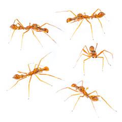 Isolated Male Myrmarachne plataleoides jumping spider